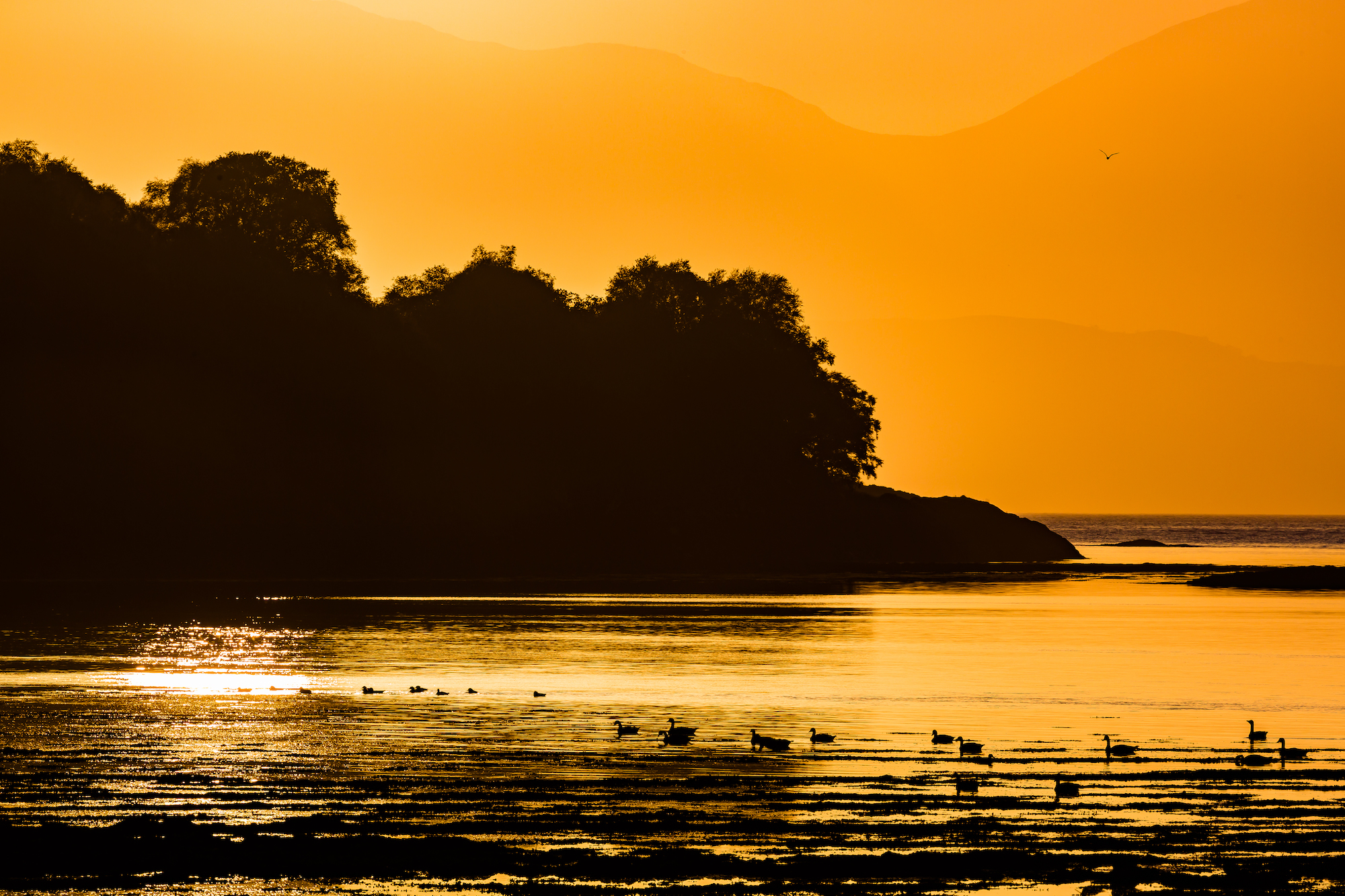 (674) Canada Geese at Sunset, Loch Feochan, Oban, Argyll and Bute, Scotland. Copyright David Wheater.jpg