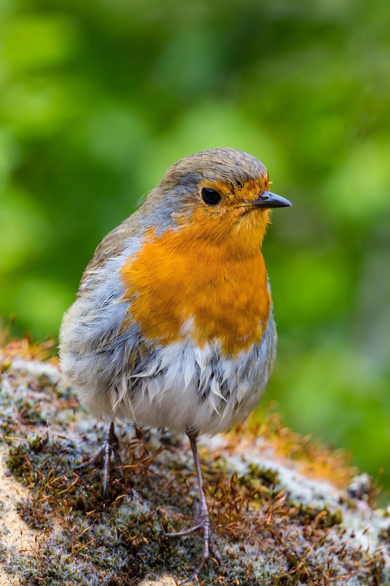 (538) European Robin, Robin Redbreast, Erithacus rubecula, Britain's National Bird, Edinburgh, Scotland.jpg