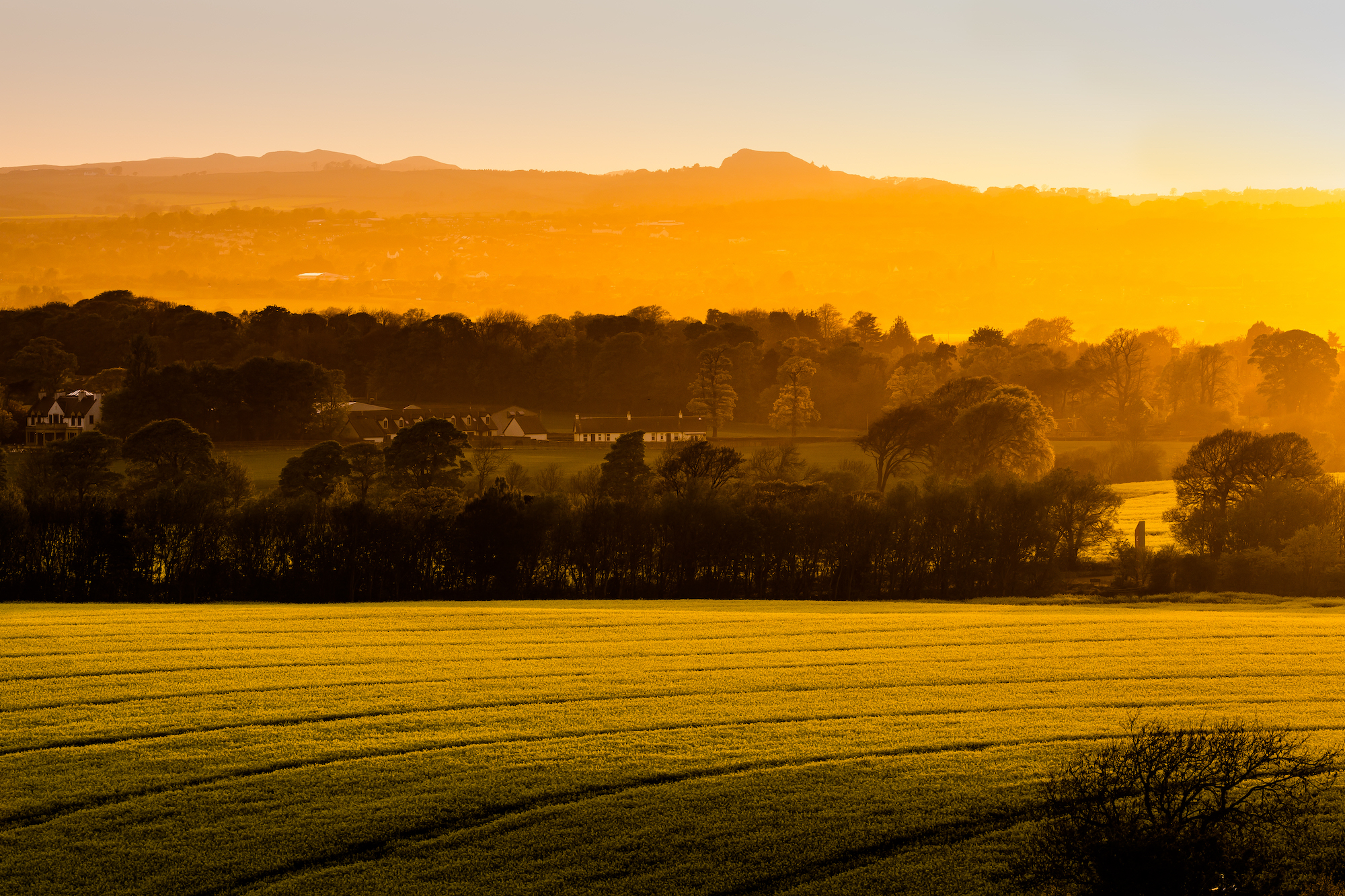 (534) Cottages in Fields of Gold, Yellow Rapeseed, Brassica Napus, Brassicaceae family, West Edinburgh, Scotland. Copyight David Wheater.jpg
