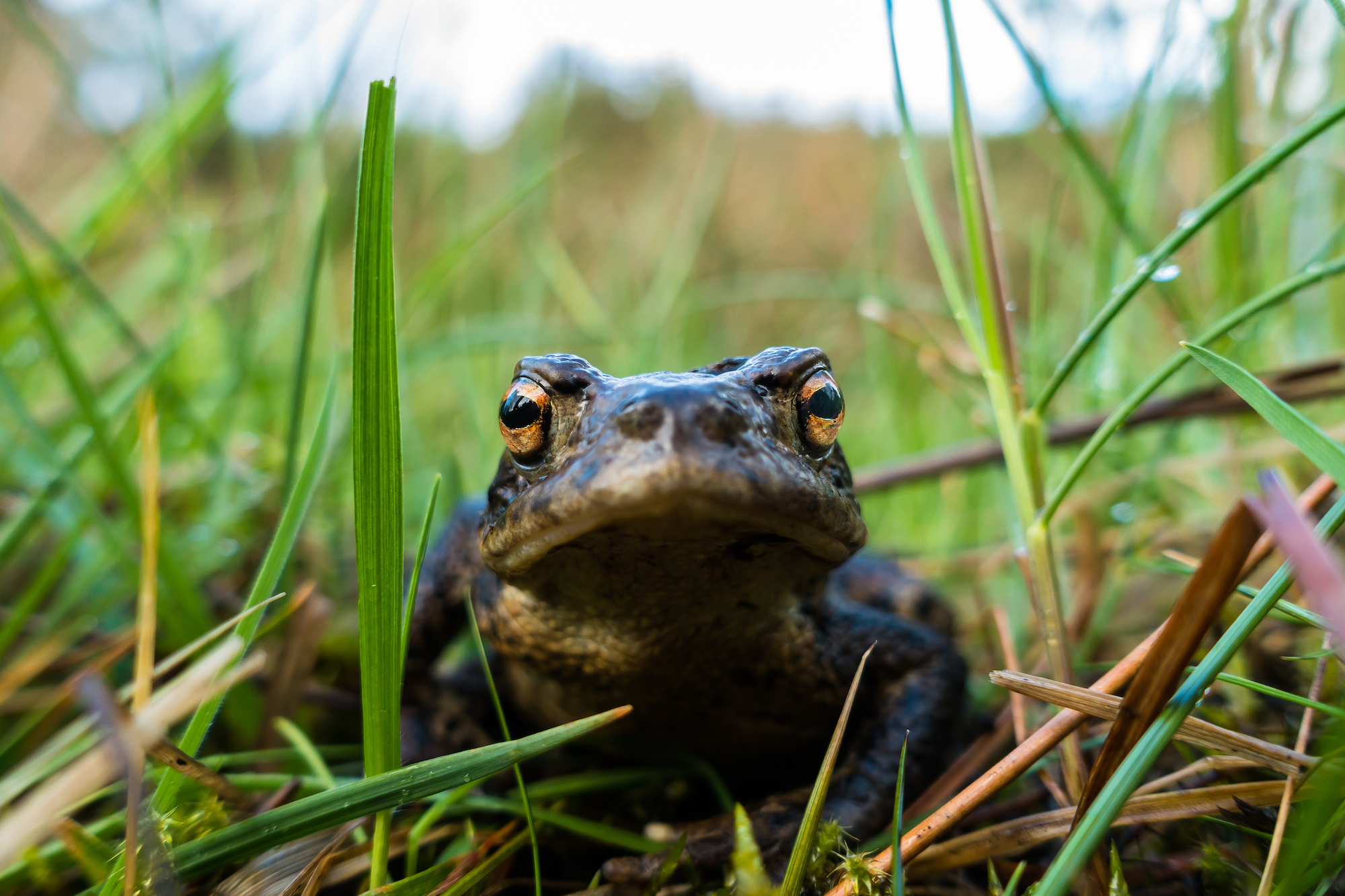 (339) Wild Common Toad, Bufo Bufo, in forest near Lairg, Sutherland, Scotland.jpg