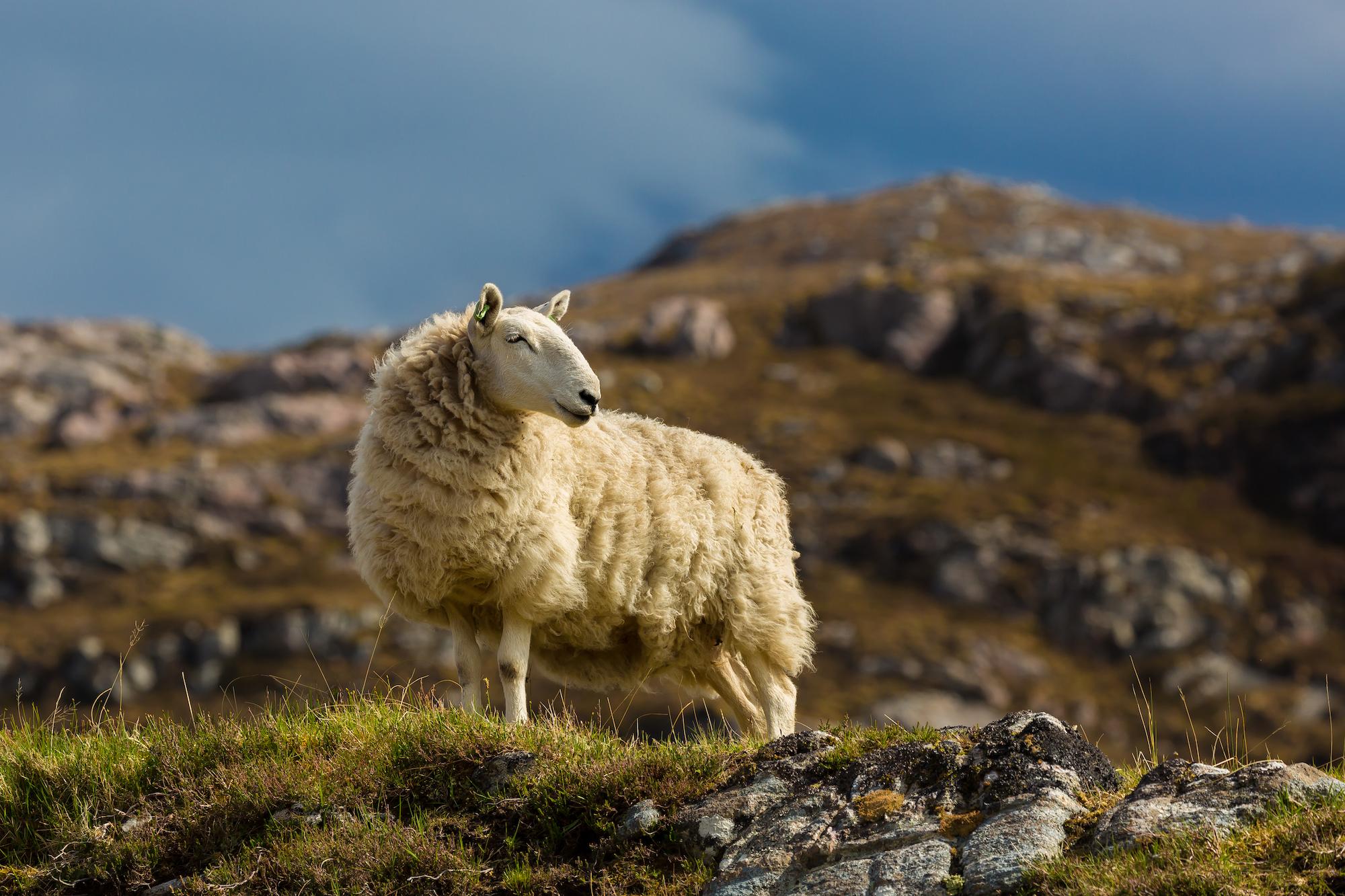 (361) Sheep near Skerricha, North West Sutherland, Scotland.jpg