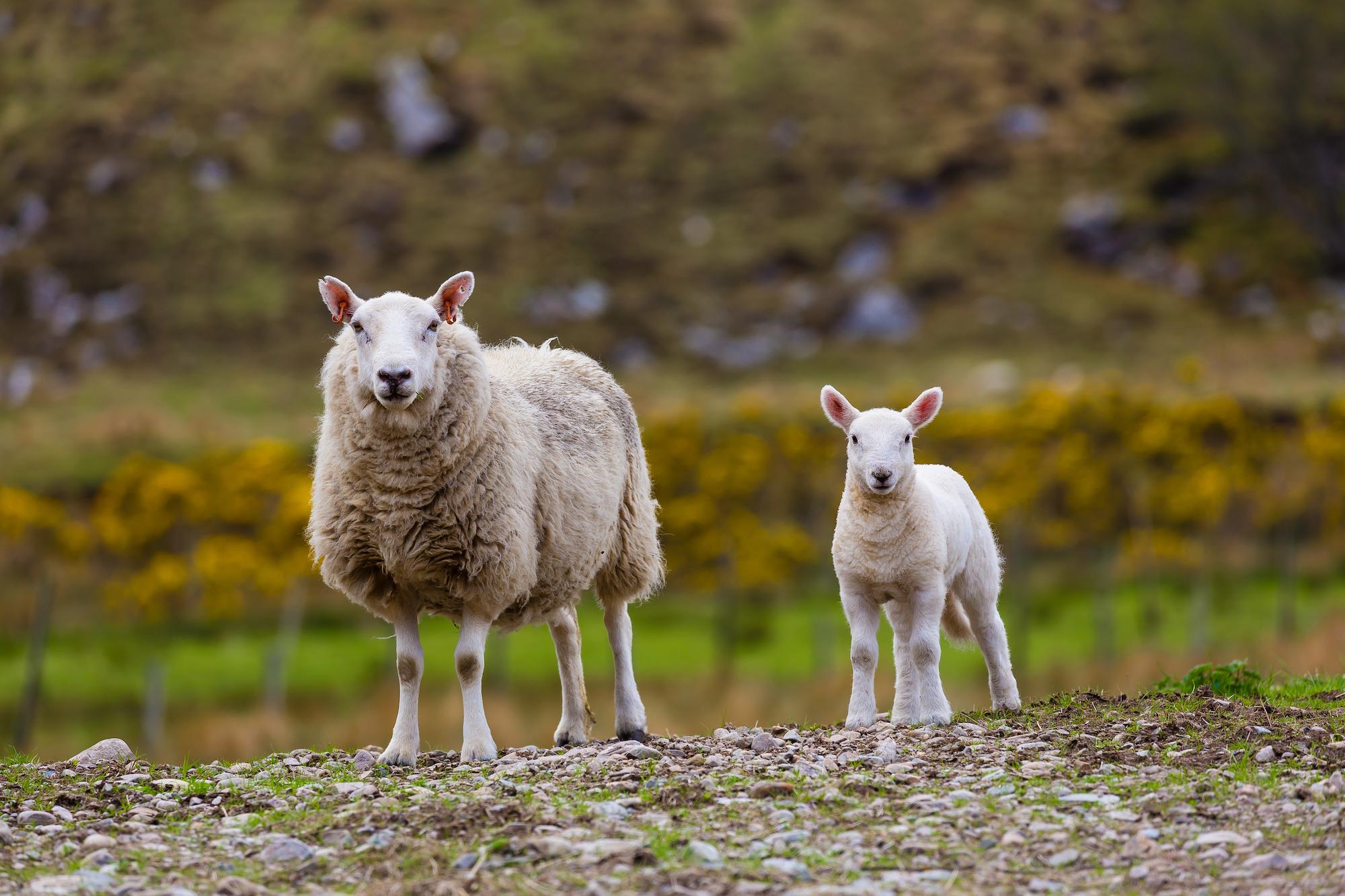 (174) (PO) Sheep on Farm, Ben Hope, Kyle of Tongue, Sutherland, Scotland.jpg