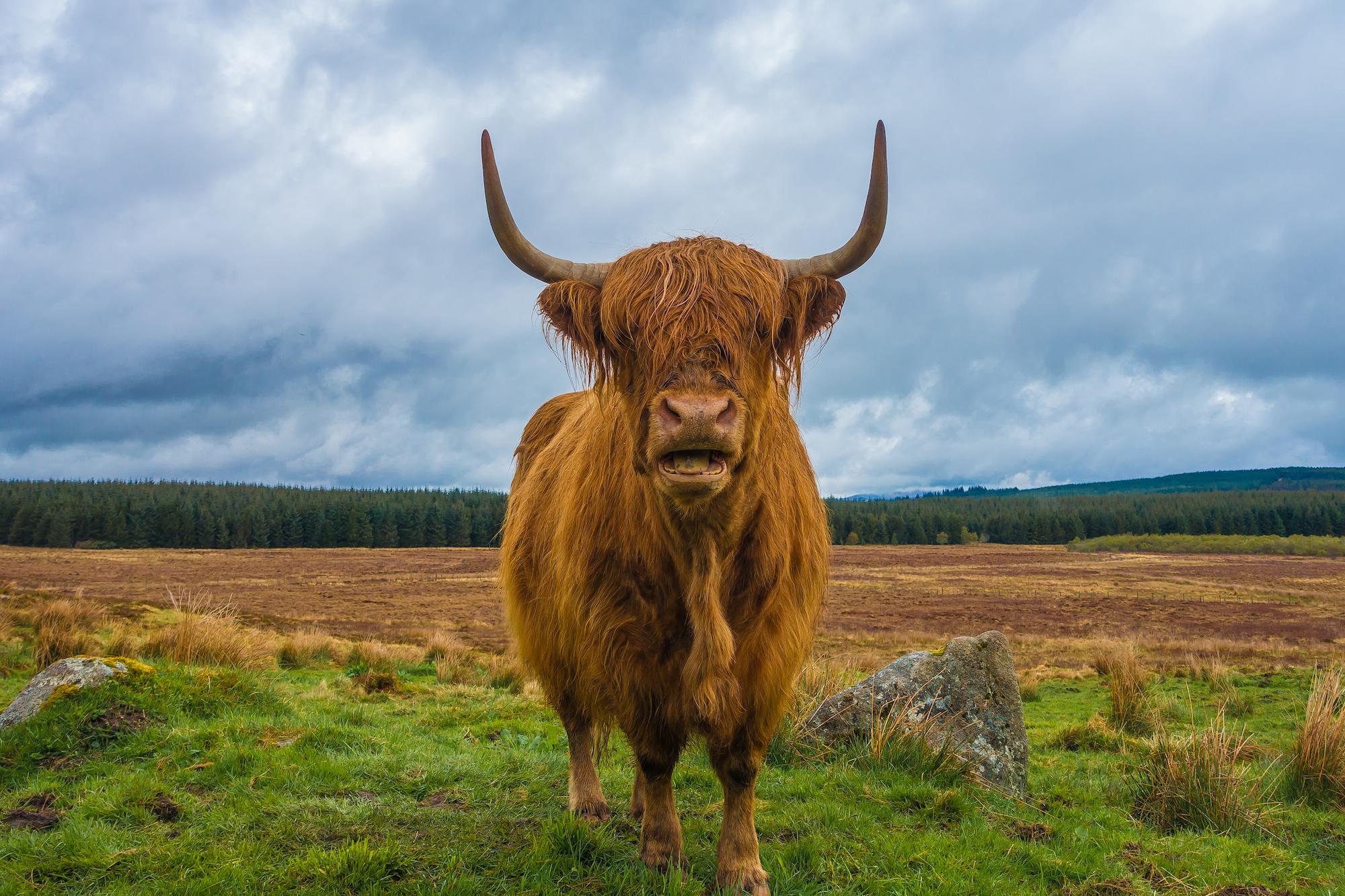 (171) Highland Cow in field near Dola, Bò Ghàidhealach, Heilan Coo, Bos (primigenius) taurus, Lairg, Scotland.jpg