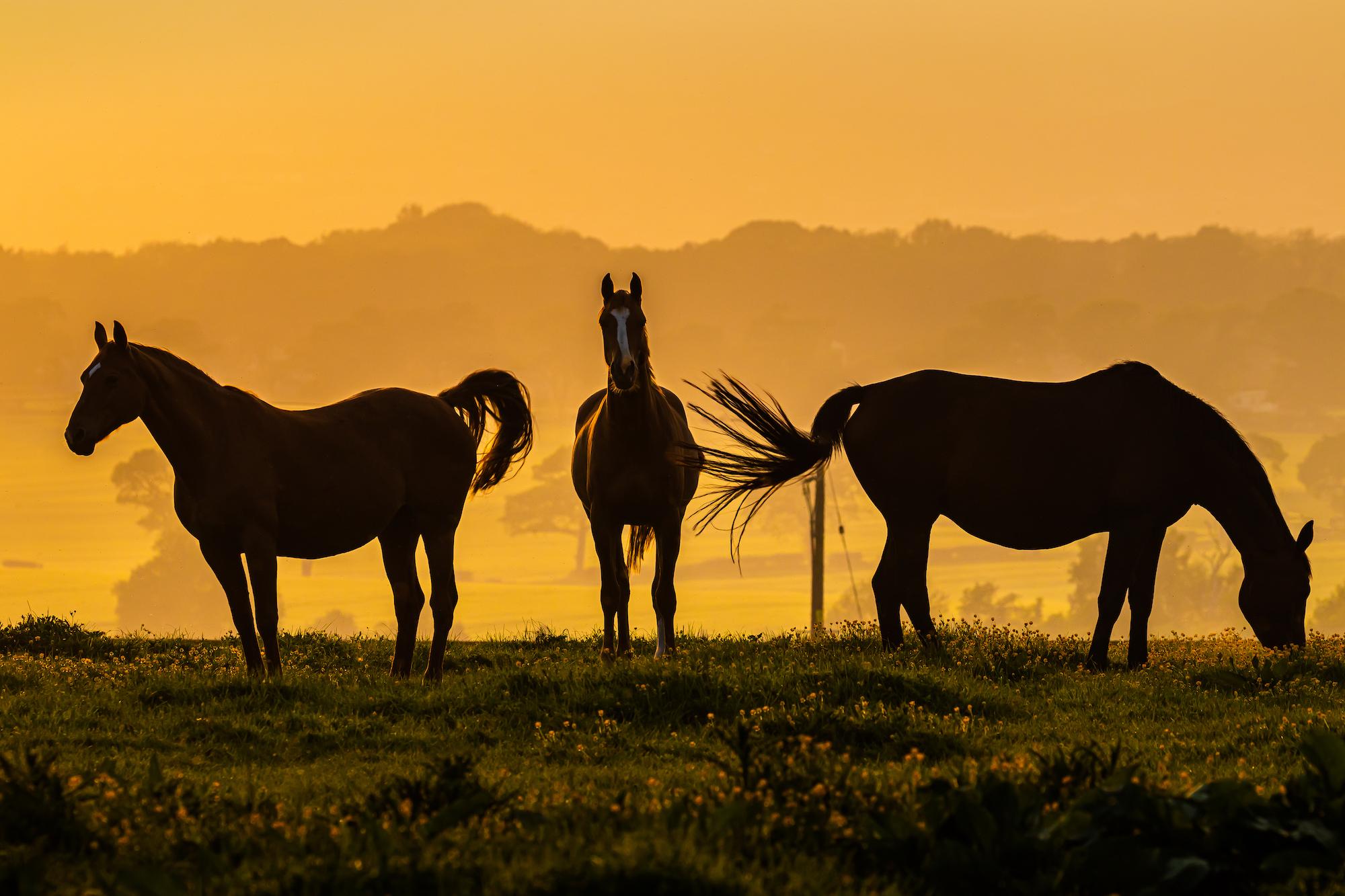 (1395) Three Horses in Setting Sun, Bonnington, Ratho, West Edinburgh, Scotland. Copyright David Wheater.jpg