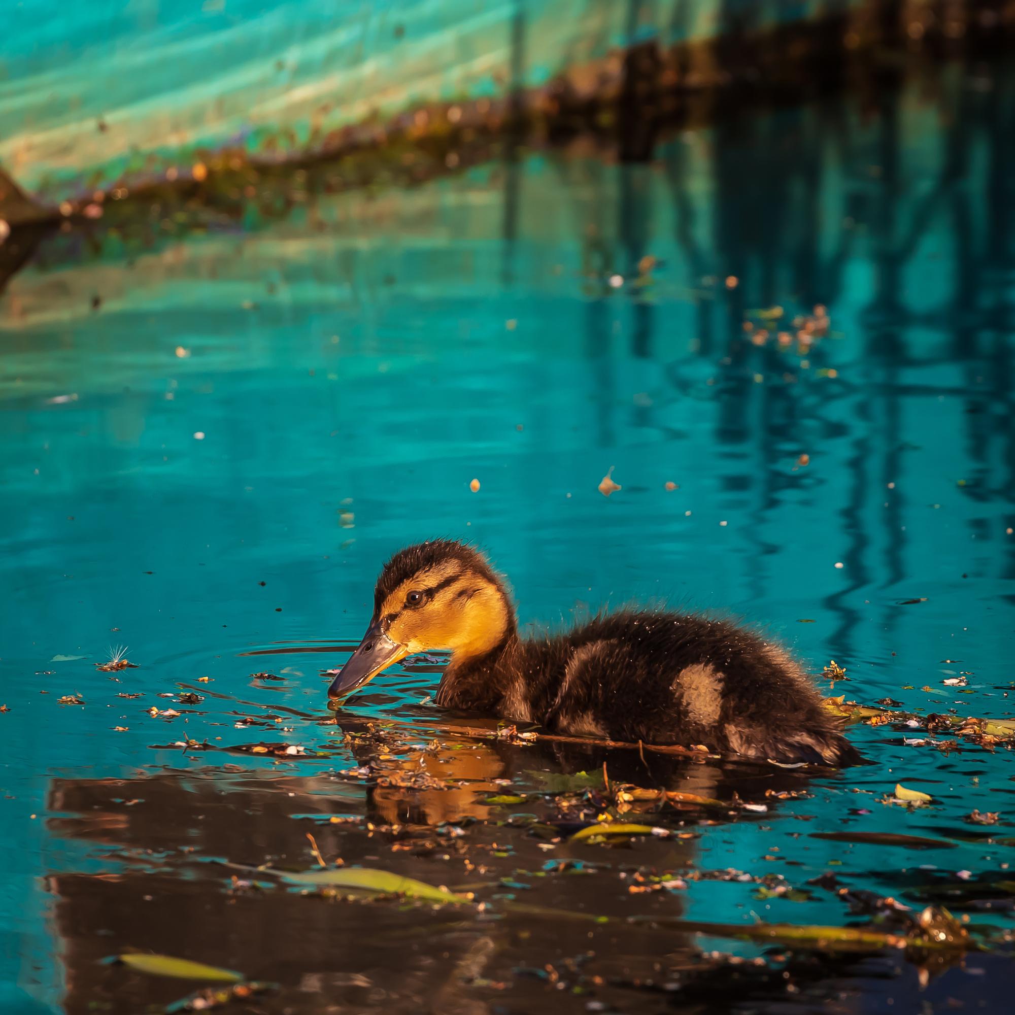 (1394) Mallard Duckling, The Union Canal, Ratho, West Edinburgh, Scotland. June 2019. Copyright David Wheater.jpg