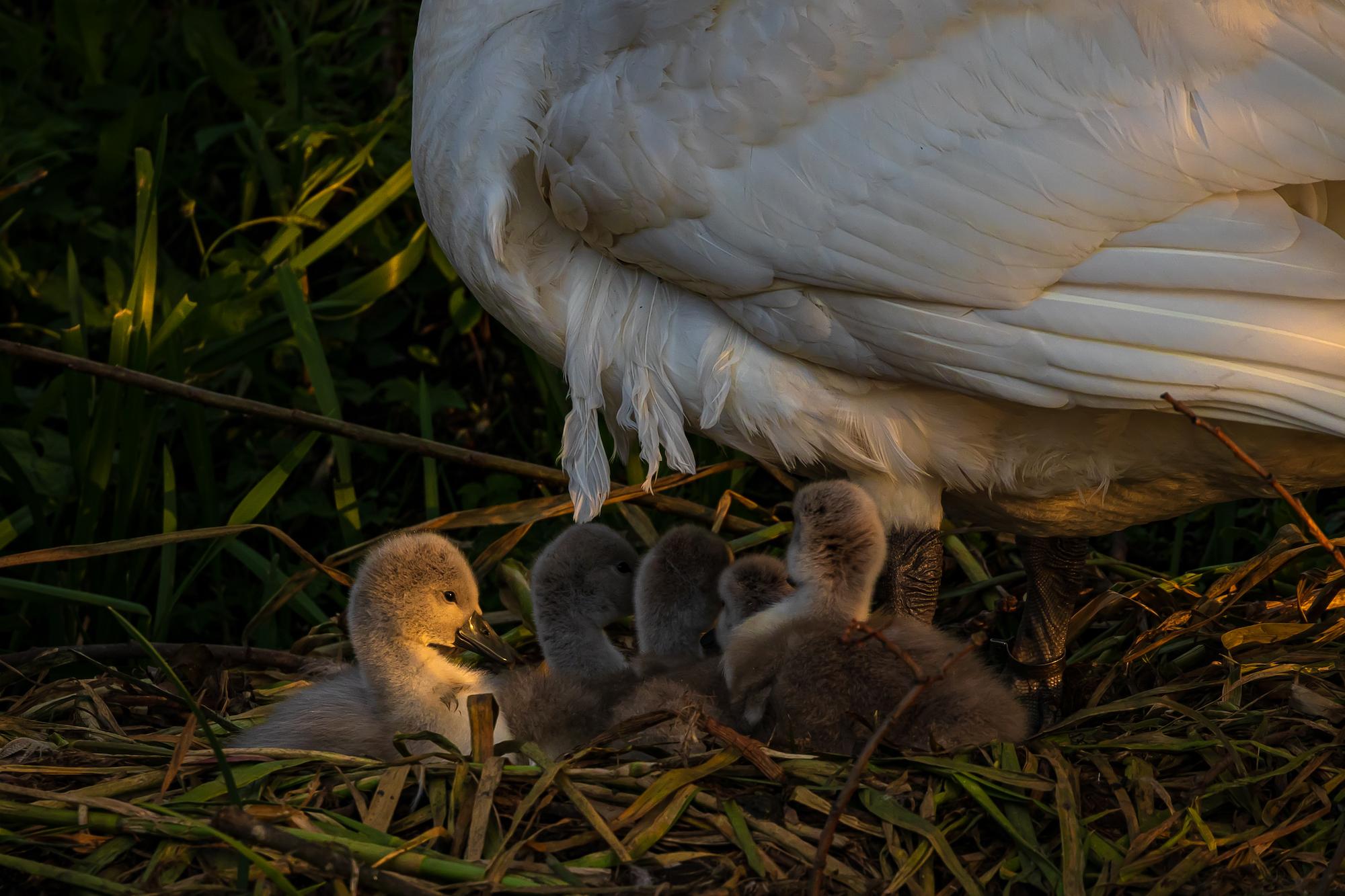 (1396) Cygnets, Mother Swan bathing in rays from the setting sun, Union Canal, Ratho Marina, Ratho, West Edinburgh, Scotland. Copyright David Wheater.jpg