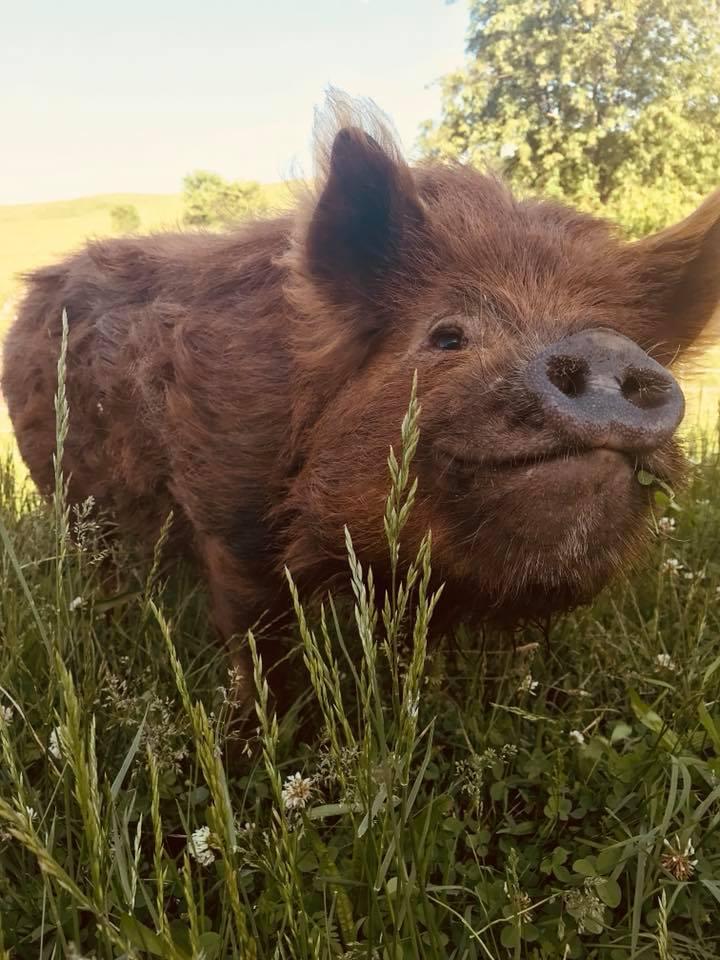 pasture raised pigs sustainable food glory be homestead zanesville.jpg