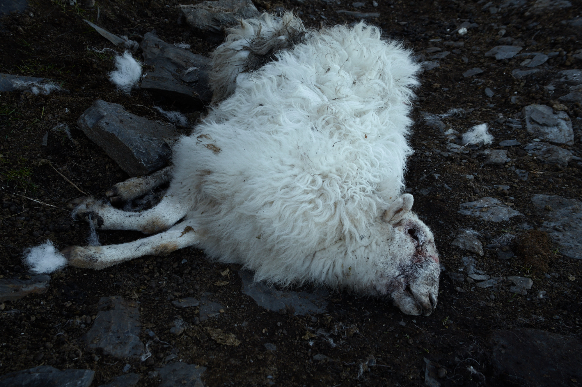 Dead sheep at Rhos Quarry, Capel Curig, Snowdonia, Wales