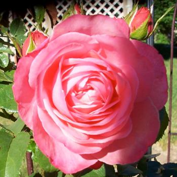 rosanna1b.png