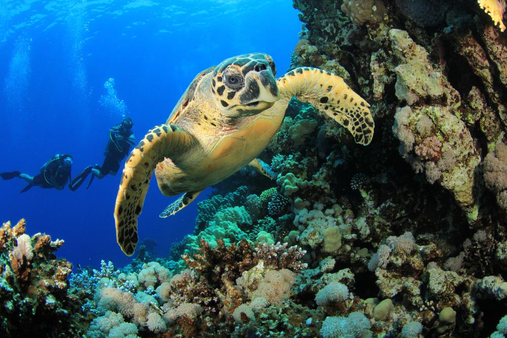 hawksbill-turtle-scuba-diving.jpg