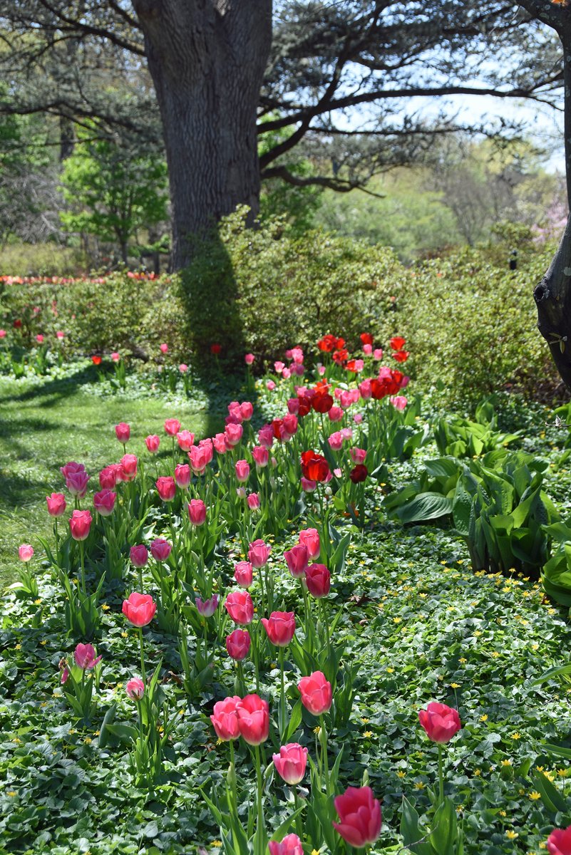 A row of fuchsia colored tulips at Sherwood Gardens in Baltimore