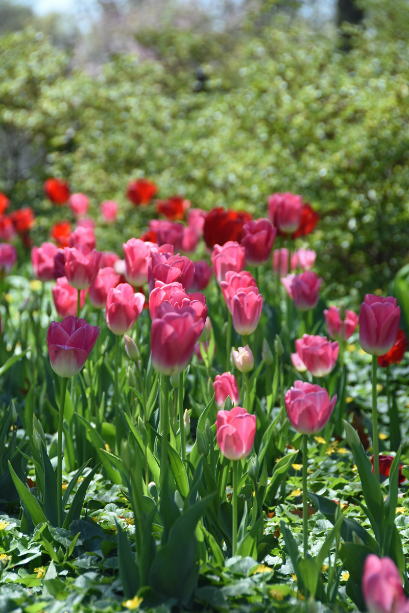 A close-up view of pink tulips in Sherwood Gardens in Baltimore