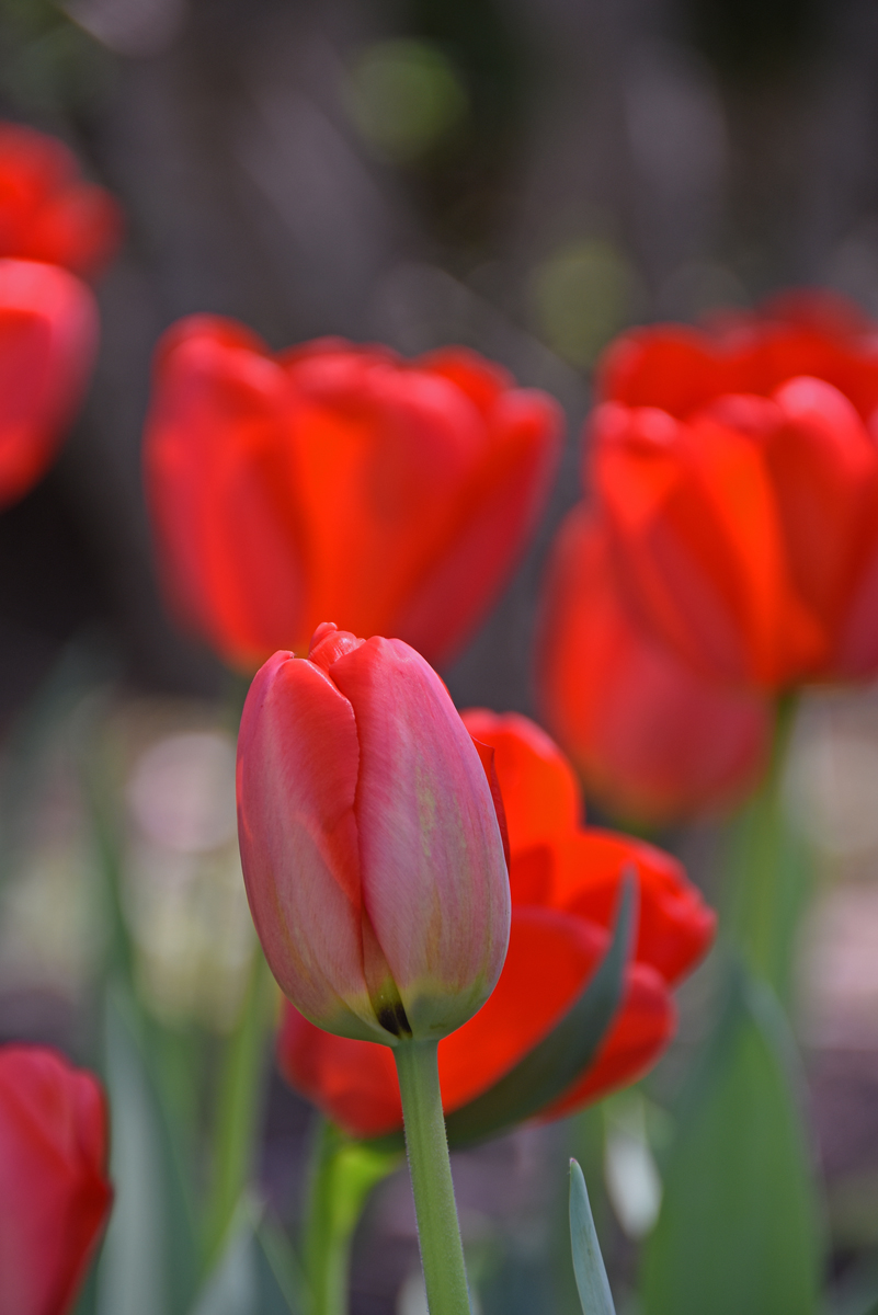 A close-up view of red tulips in Sherwood Gardens in Baltimore