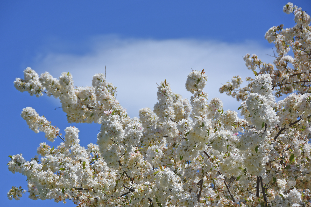 White flowers against a cloudy blue sky at Sherwood Gardens in Baltimore