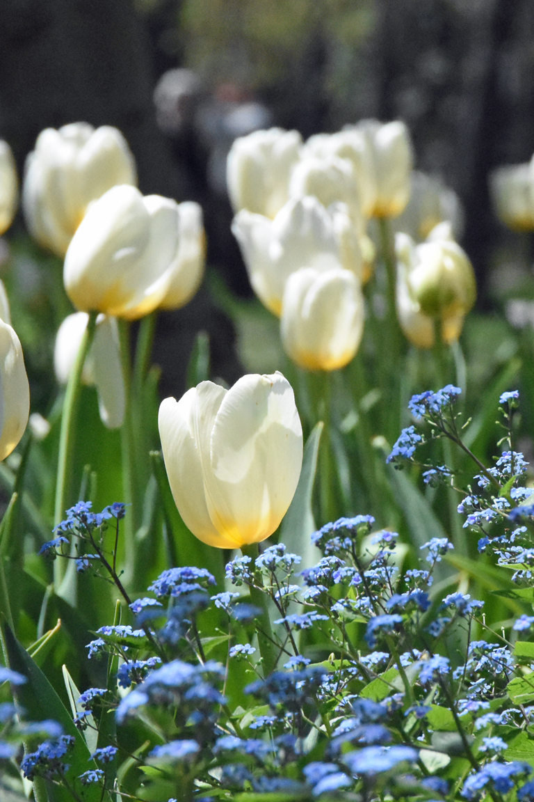 White tulips with a yellow base in Sherwood Gardens in Baltimore