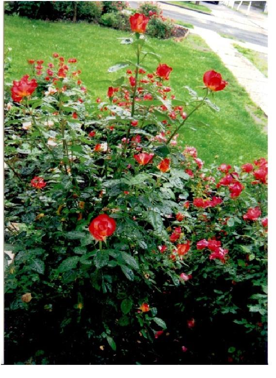 rosepage4.jpg