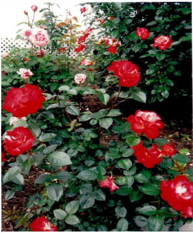 rosepage6.jpg