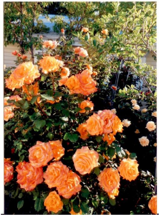 rosepage7.jpg
