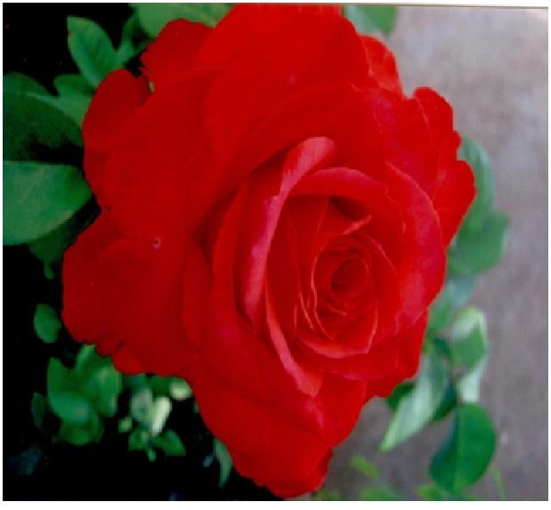 rosepage9.jpg