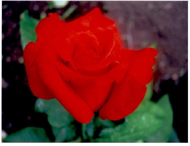 rosepage10.jpg