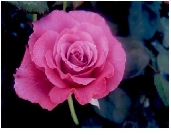 rosepage11.jpg