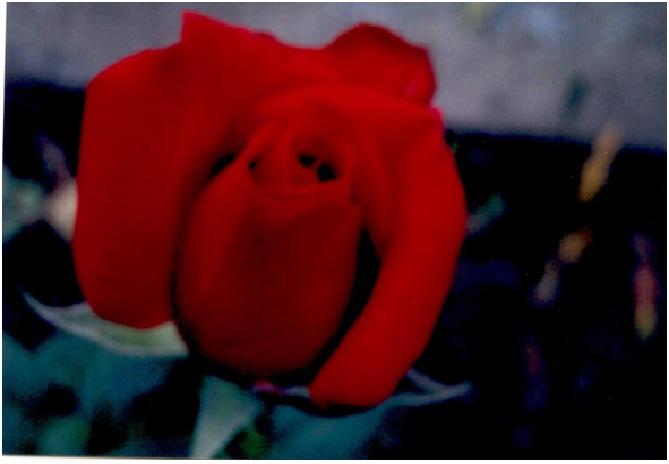 rosepage12.jpg