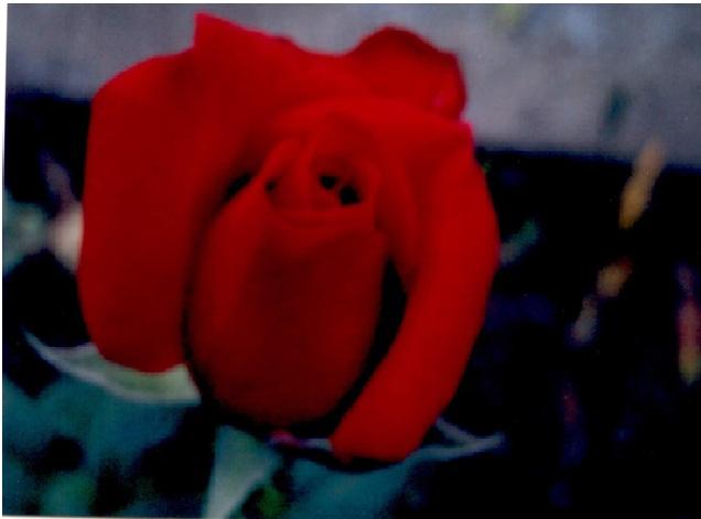 rosepage13.jpg