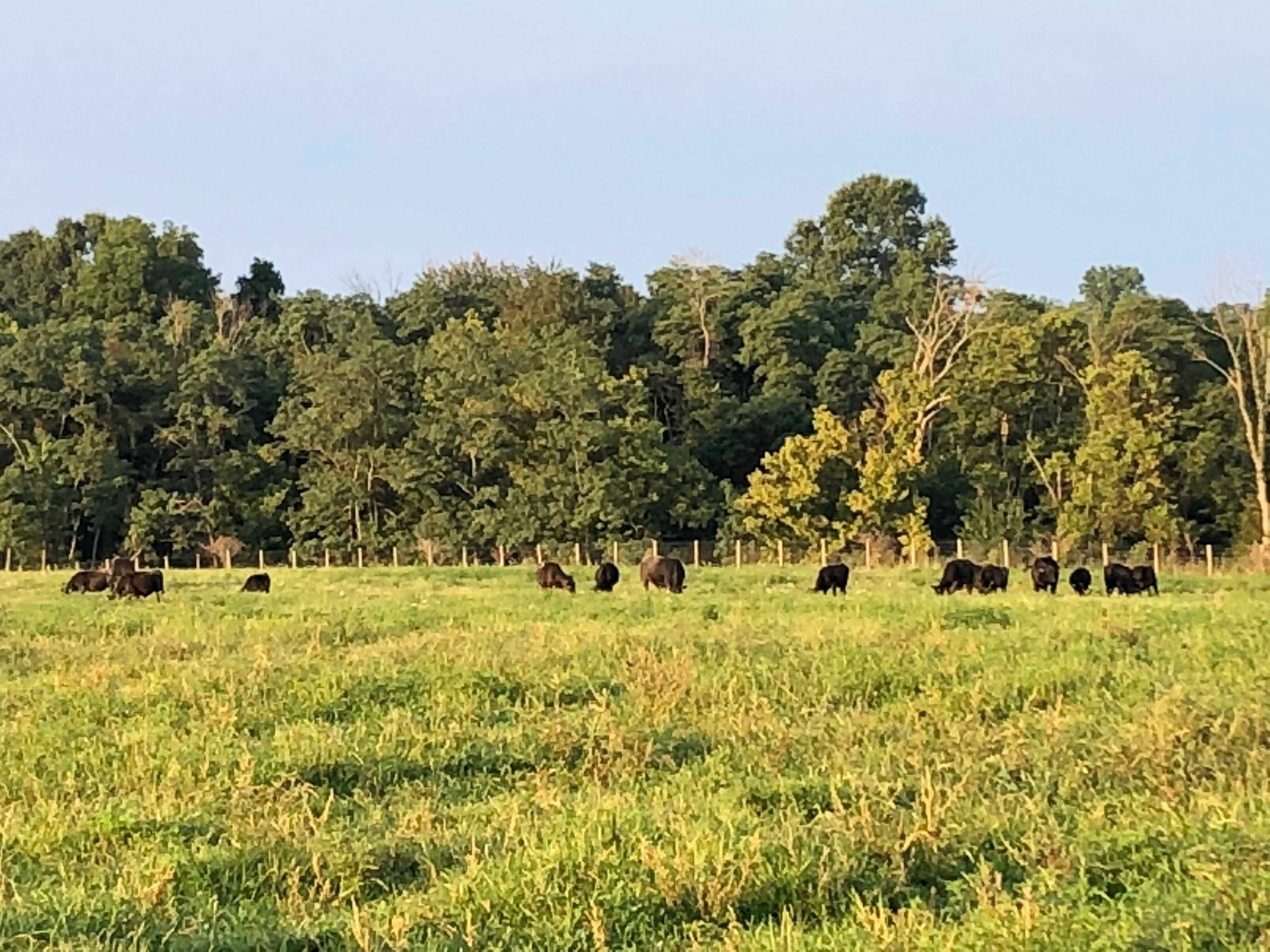 calves grazing.JPG