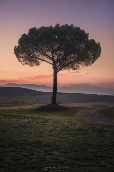 The soft pastel hues before sunrise behind a lone umbrella pine in the rolling hills of Tuscany, Italy.