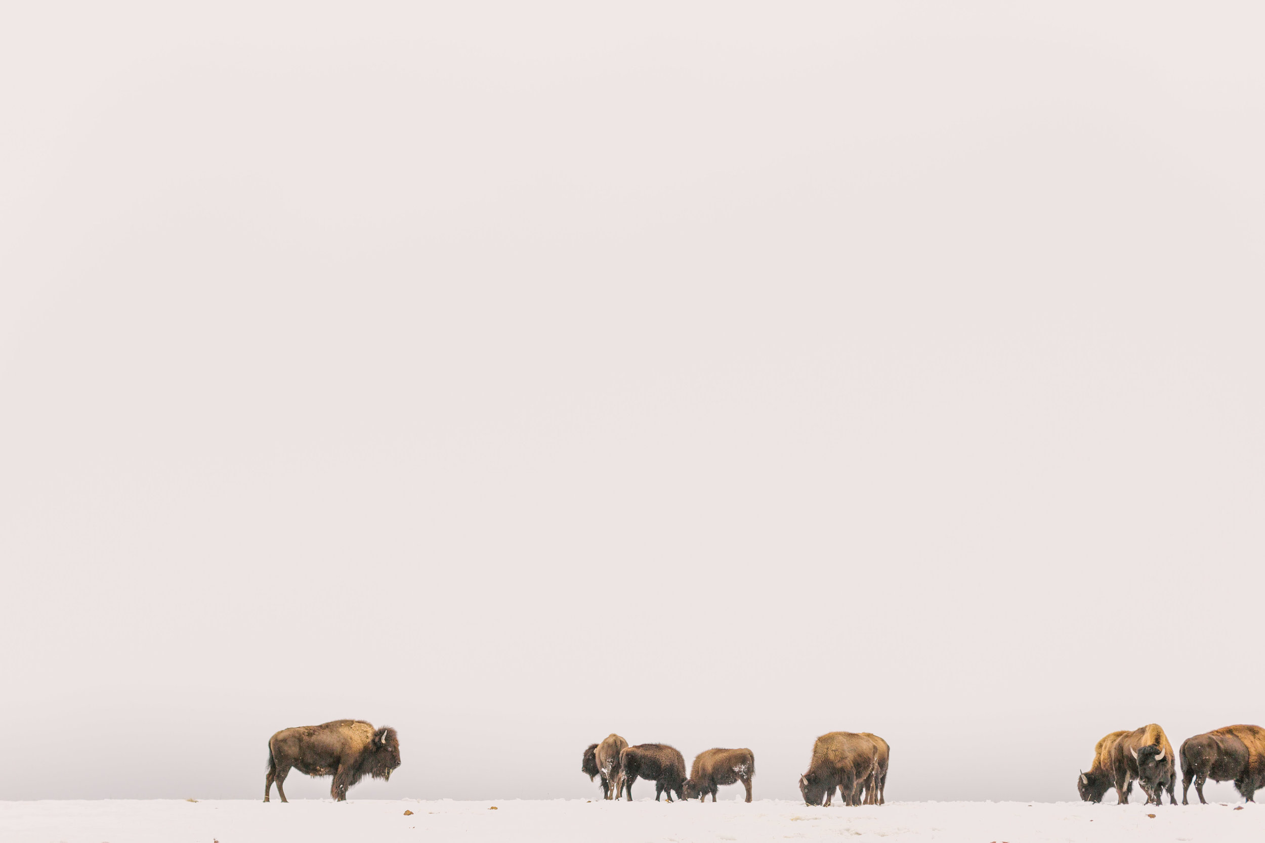 Chelsea Macor Photography Nature Photography Print of Buffalo in Snow-5.jpg