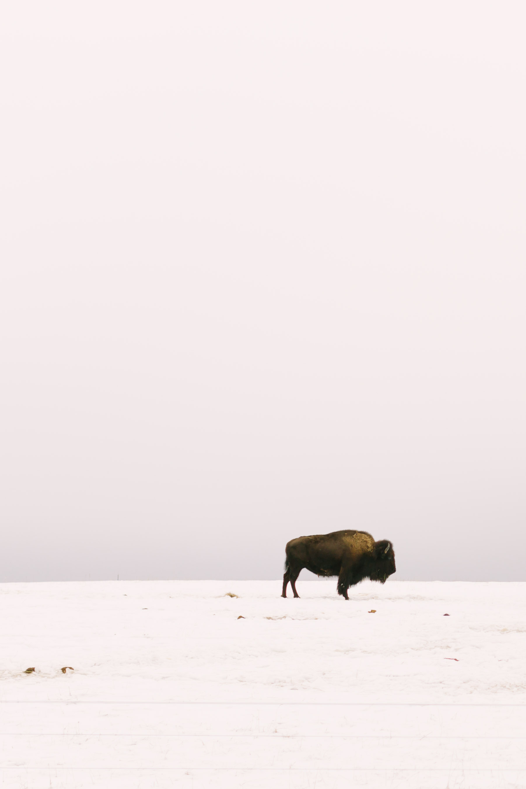 Chelsea Macor Photography Nature Photography Print of Buffalo in Snow-7.jpg