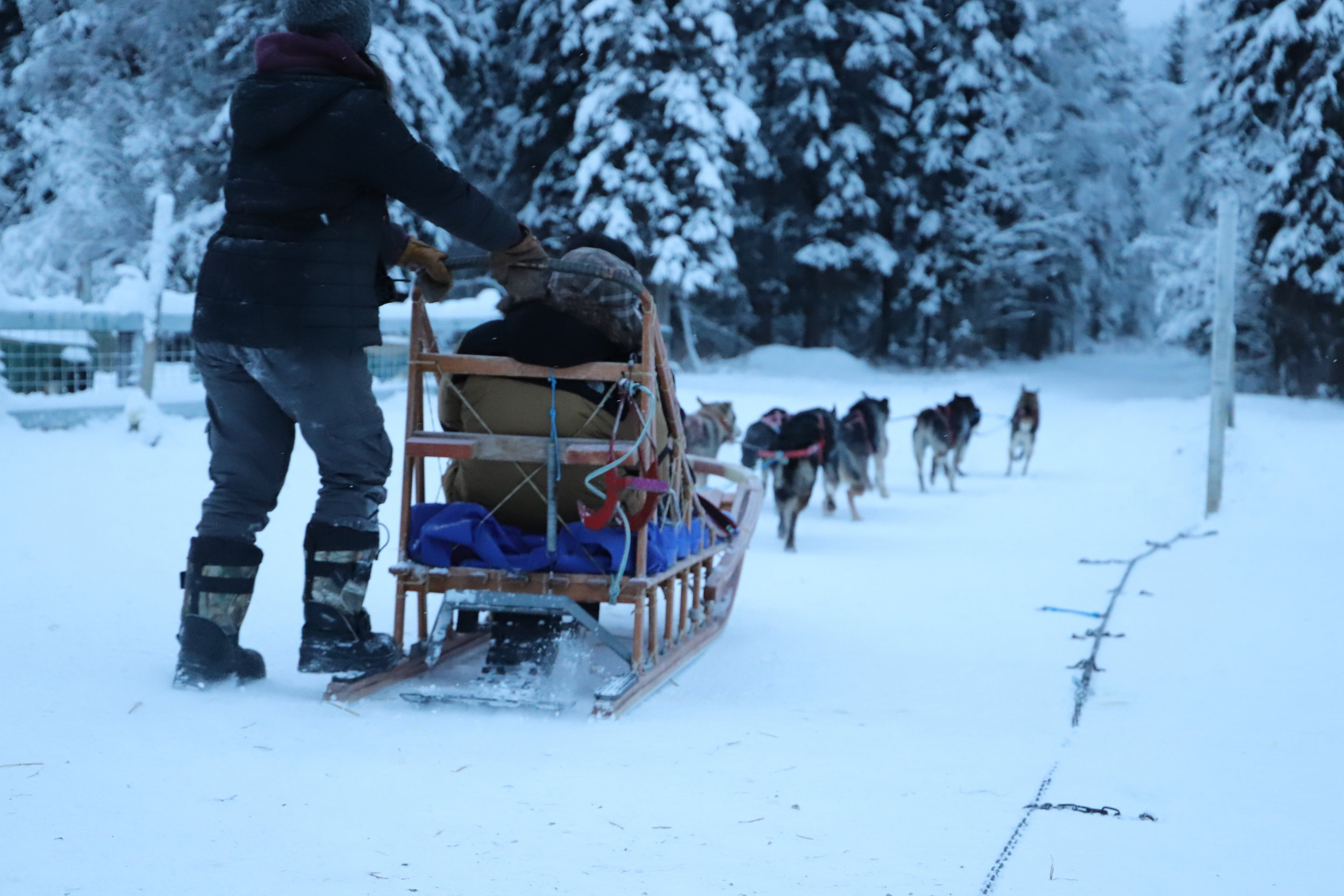 狗拉雪橇 - $60 /每人最少2 人方可成行*12 岁及以下须有付费成人陪同方可成行