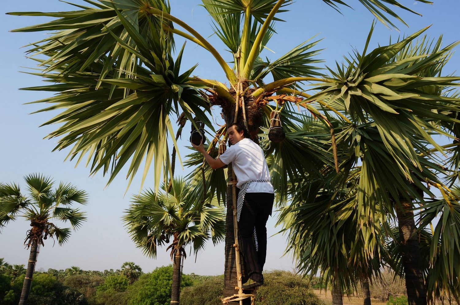Collecting the sweet toddy palm nectar. A key ingredient to many drinks and dishes