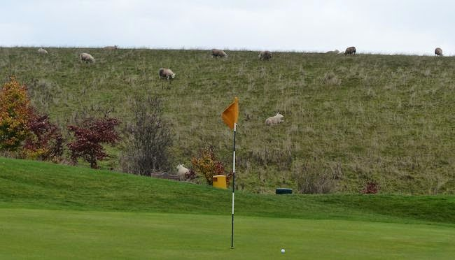 Pull the Wool Over Their Eyes! -- Odds are you'll get a gallery behind the green at the uphill par 5 6th hole. Though, more often than not, the sheep would be wise to avert their gaze.