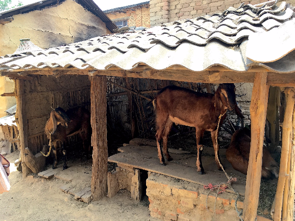 Her two goats in their shelter outside the home