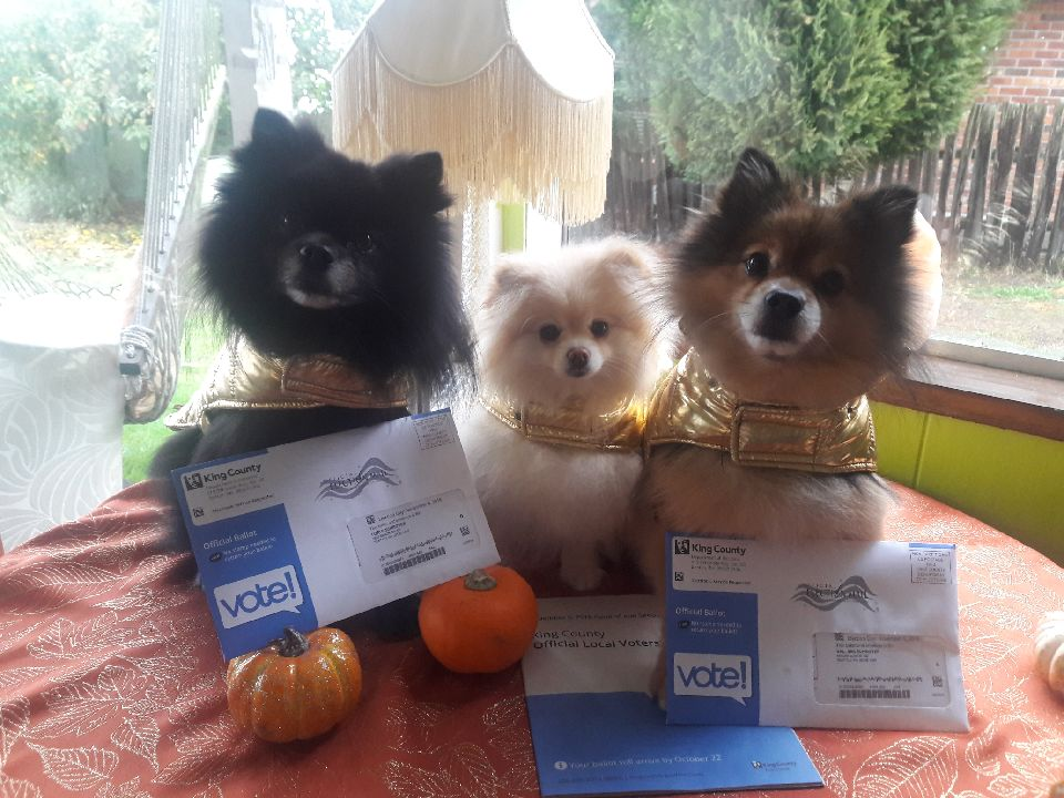 MarkyBear, Sidney and Samson, the trio of pomeranians who are the cutest #GOTV crew you ever did see, submitted by Lori