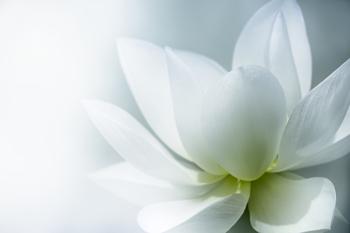white_lotus_small.jpg