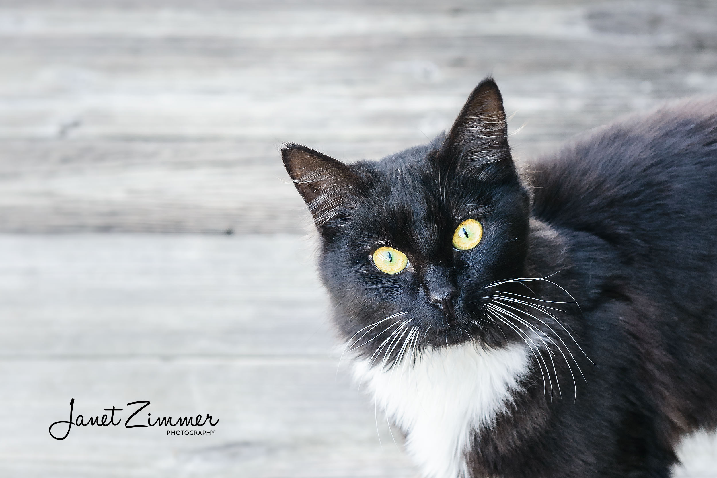 Portrait of Black and White Cat on gray wood background
