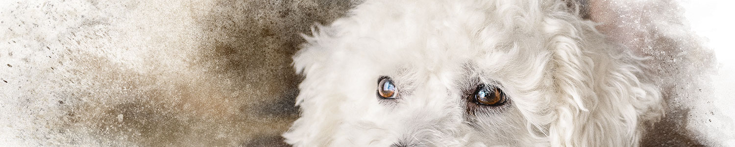 Eyes-of-Small-White-Dog