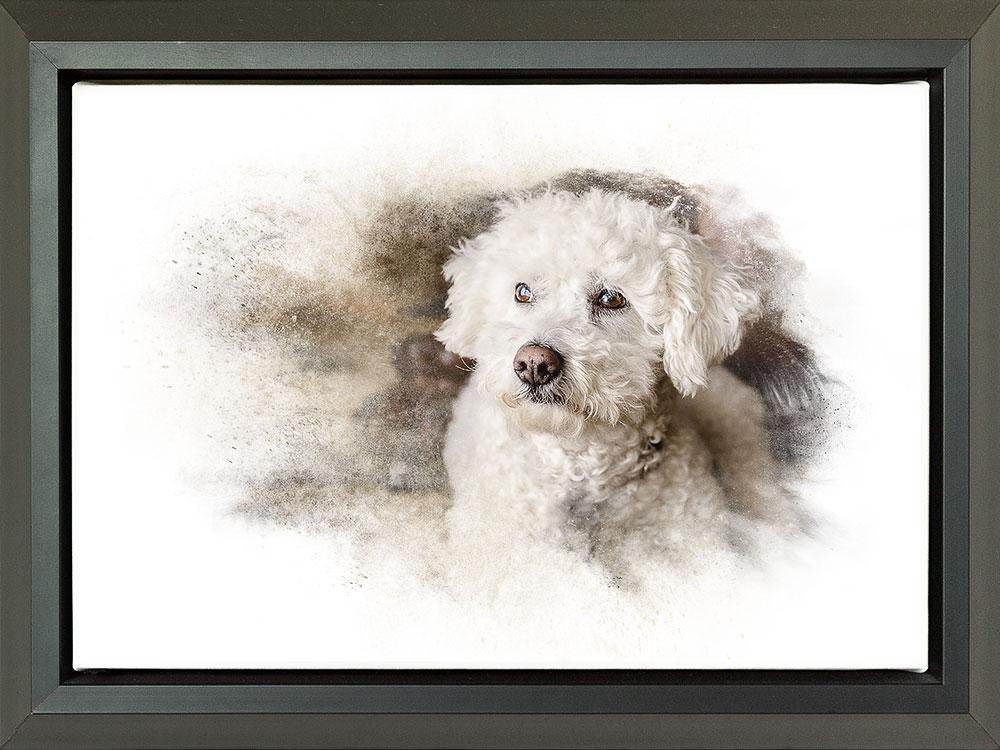 Float framed wall canvas of bichon frise dog