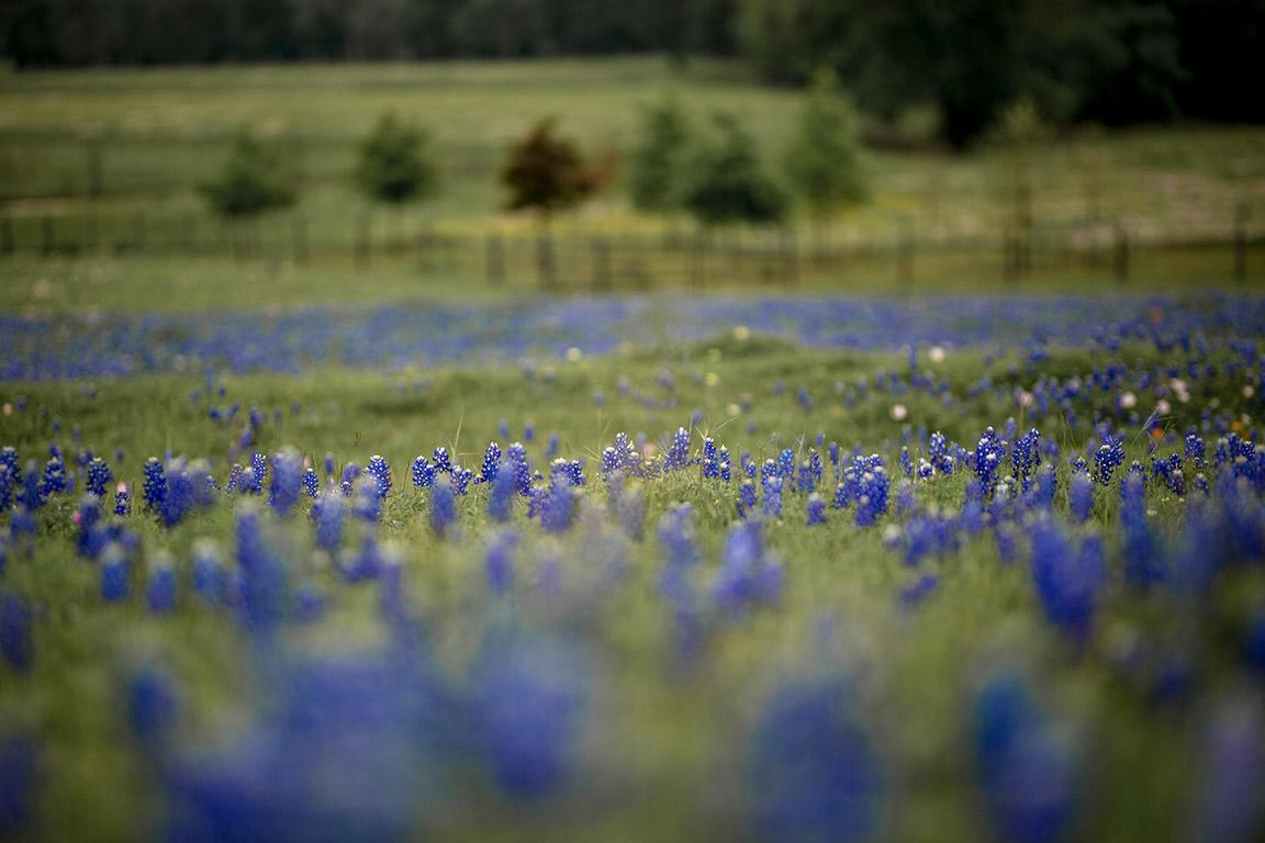 texas_bluebonnets.jpg