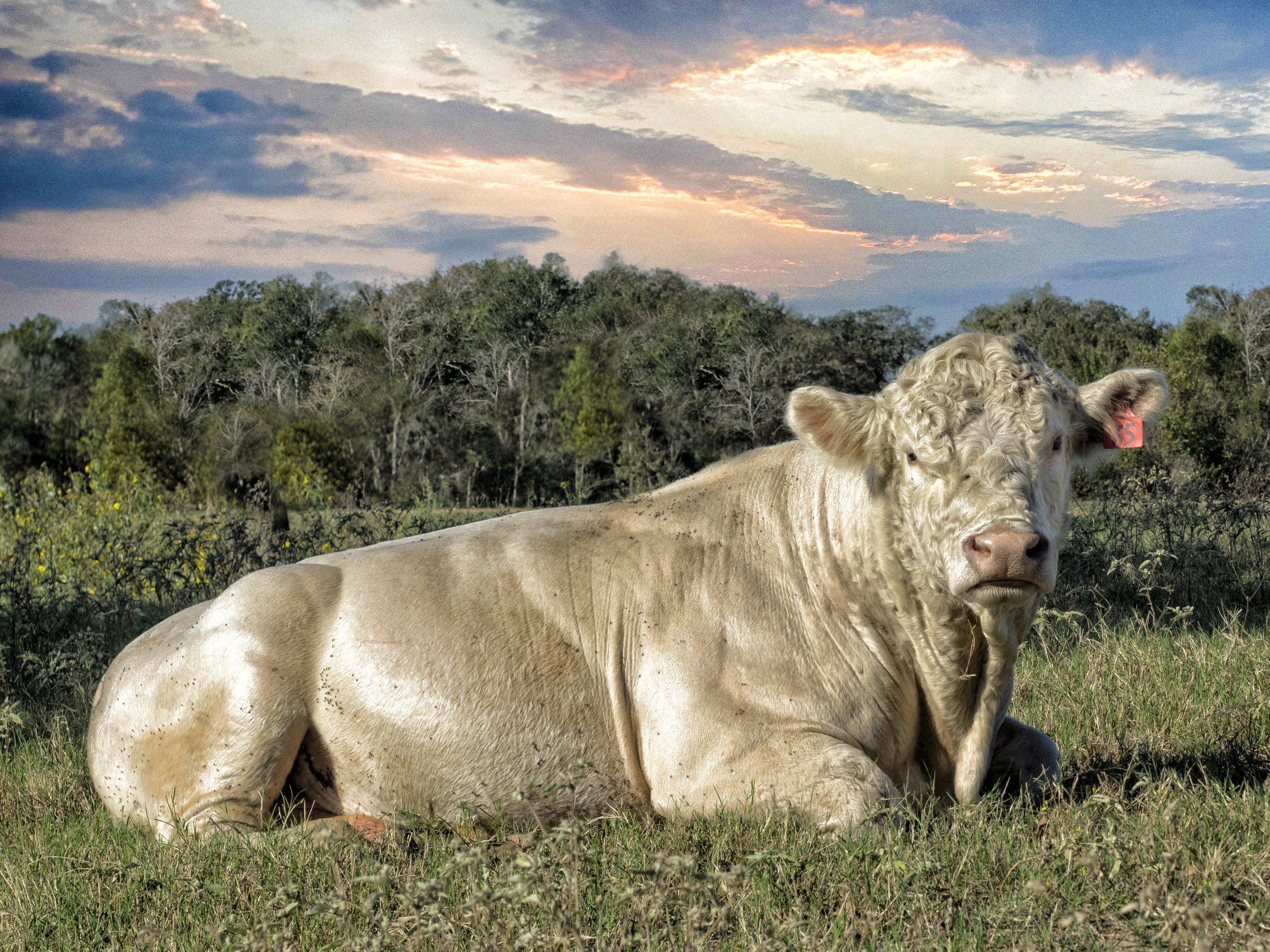 Longhorns and cattle roam the 300 acres of Texas Country at StarHill Farms