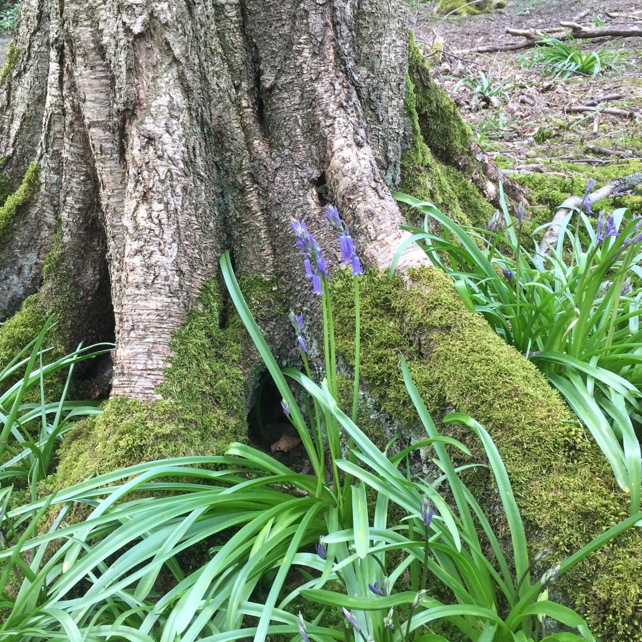 bluebells under tree.jpg