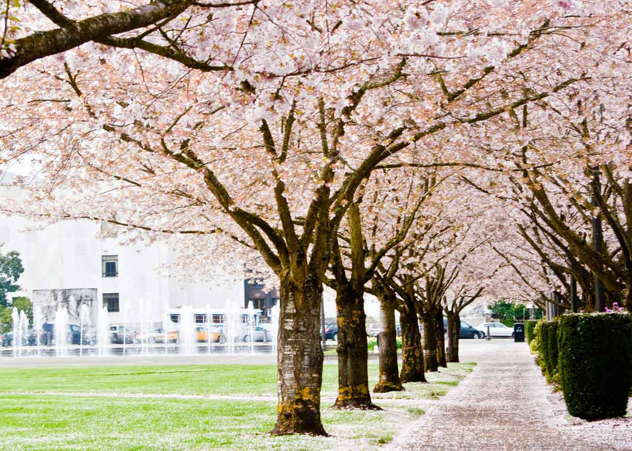 Where To See Cherry Blossoms In The Us The Complete List