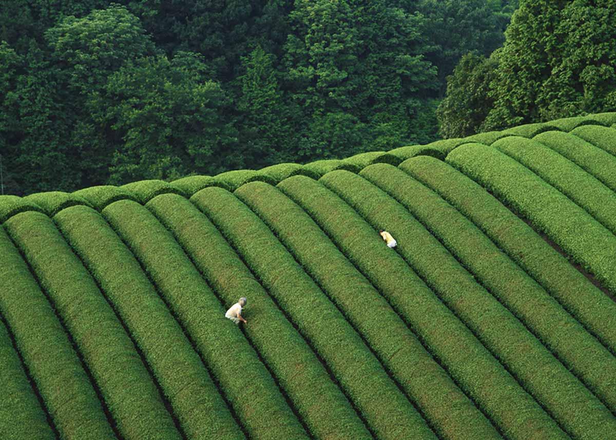 ©  Matchæologist , Picking Tea