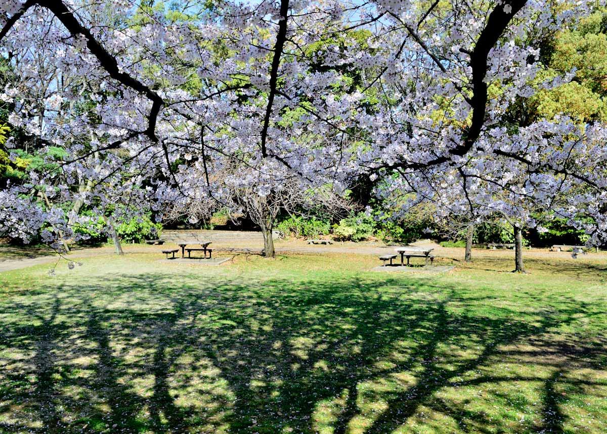 © Kiyosumi Garden, Cherry Blossom in Kiyosumi Garden