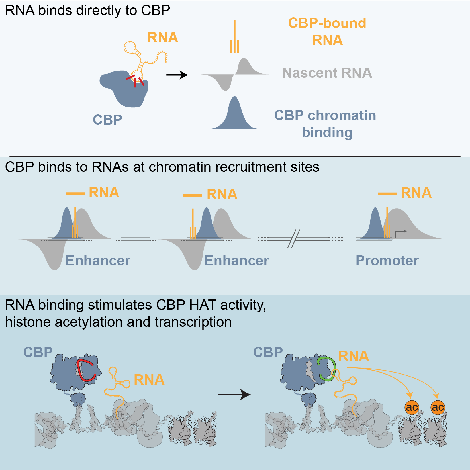 RNA Binding to CBP Stimulates Histone Acetylation and Transcription. - Daniel A. Bose, Greg Donahue, Danny Reinberg, Ramin Sheikhattar, Roberto Bonasio, Shelley L. Berger. Cell 168, 135–149.e22 (2017)In our most recent paper, we showed how RNA binding to CBP could modulate CBPs enzymatic activity to control histone acetylation and gene expression. The model explains how localised transcription of eRNAs could tailor the activity of sub-populations of CBP bound at enhancers, leading to functional diversity in enhancer activity. (manuscript also available here)