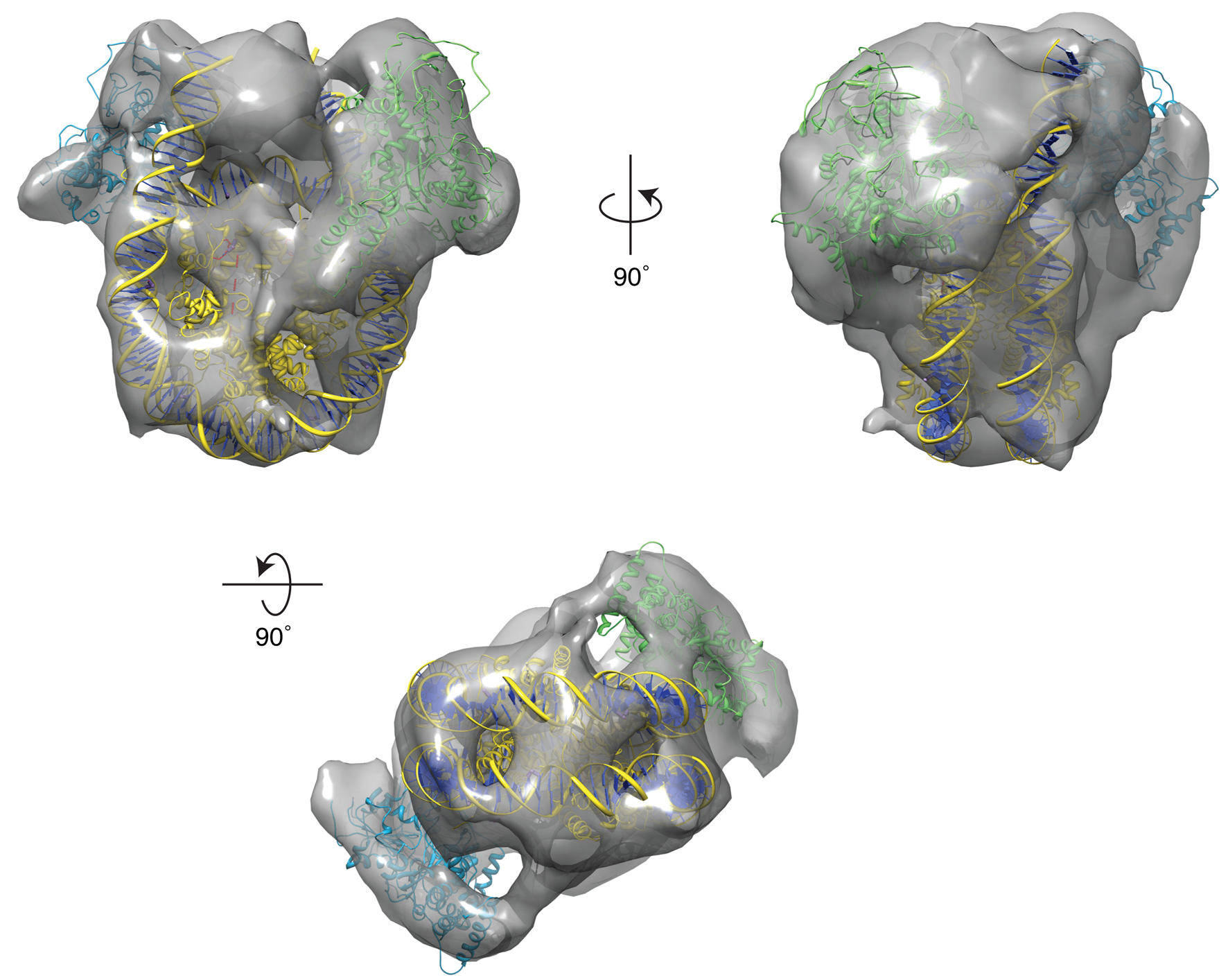 Functional role for an Arp8 dimer within the INO80 Chromatin-Remodelling Complex - Matheshwaran Saravanan*, Jochen Wuerges*, Daniel Bose*, Elizabeth A. McCormack, Nicola J. Cook, Xiaodong Zhang and Dale B. Wigley. PNAS, 109 (51), 20883-8 (2012), PMID 23213201.In collaboration with Prof. Dale Wigley FRS, we carried out structural and functional characterisations of the INO80 chromatin re-modelling complex, including the actin-relate protein Arp 8 bound to a nucleosome, an early structure of nucleosome-bound proteins solved using cryo-EM.