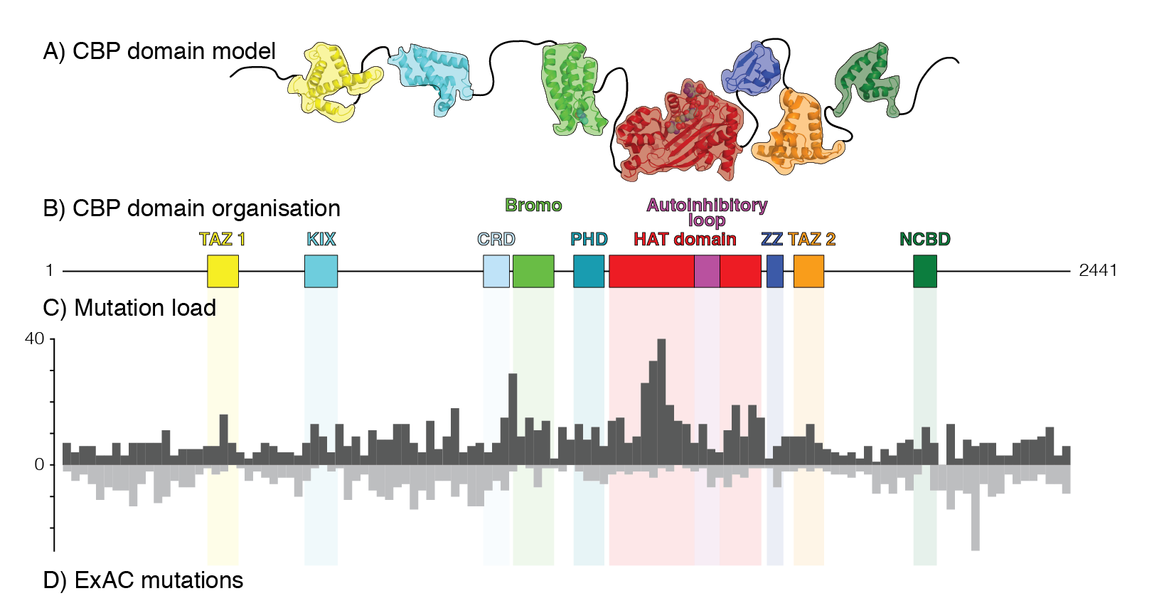 CBP domain model showing structures and disordered regions (A) and domain organization (B). C-D) Distribution of CBP mutations in cancer (cBioPortal, C)compared to mutiatons with no disease phenotype (ExAC, D); cancer mutations cluster within TF binding and catalytic domains.