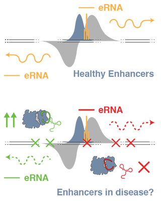 How do disease-related mutations at enhancers cause disease? One possibility is that they de-regulate the activity of epigenetic enzymes.